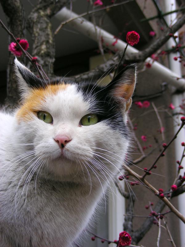 紅梅と三毛猫2