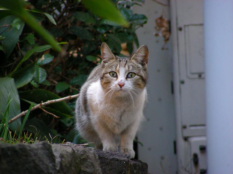 出会ってしまったキジ白猫2