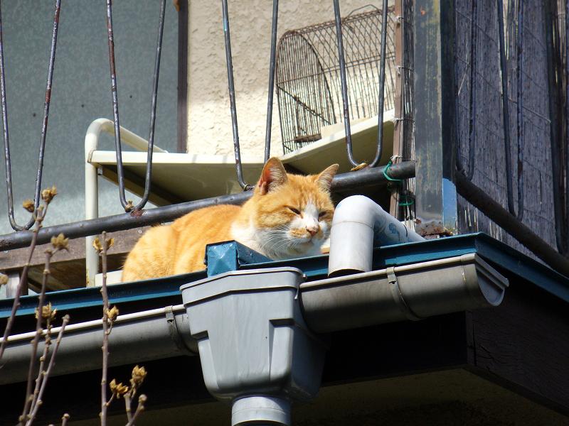 物干し外の茶白猫2