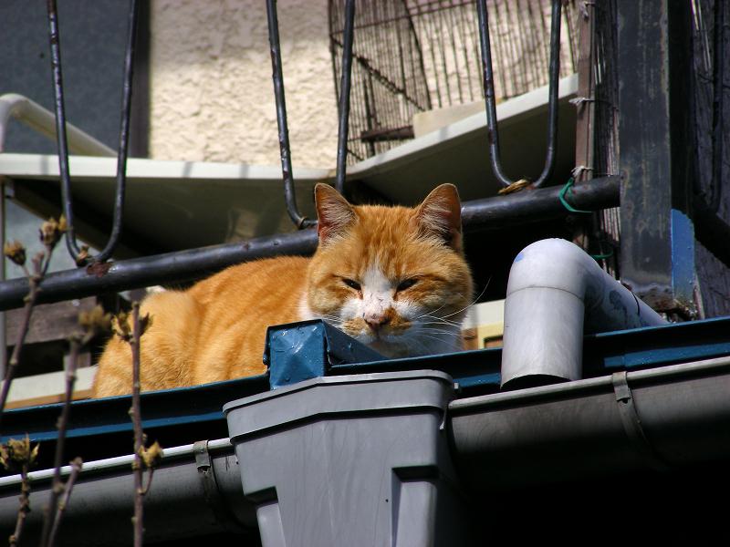 物干し外の茶白猫3