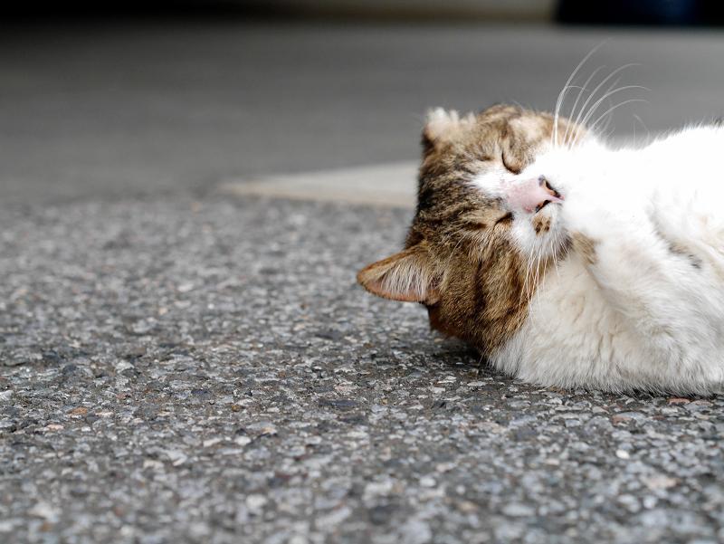 境内で手を舐めるキジ白猫