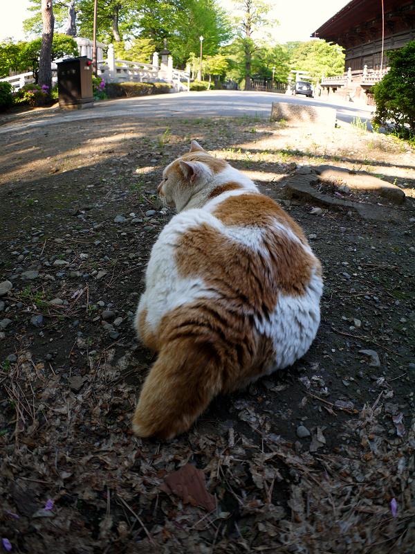 境内に腹ばう茶白猫2