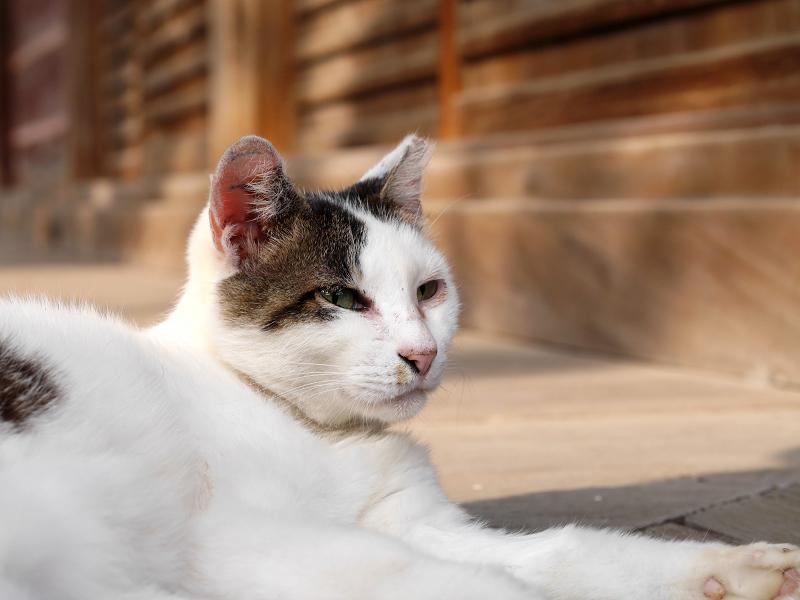 お堂の濡れ縁で寝ていた白キジ猫2
