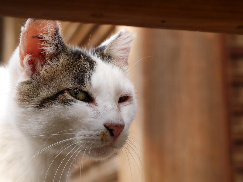 お堂の濡れ縁で寝ていた白キジ猫3