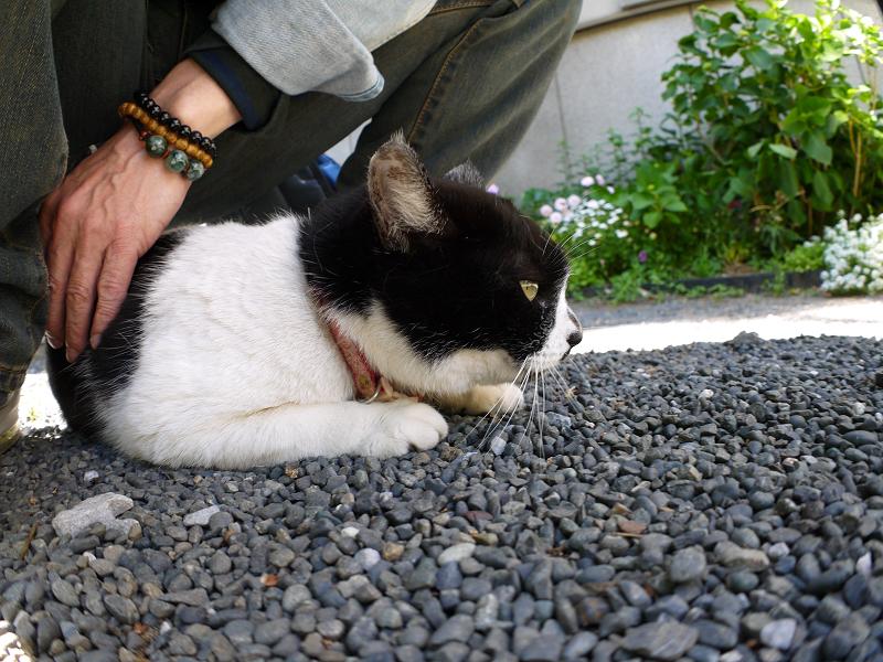 尻の下の白黒猫2