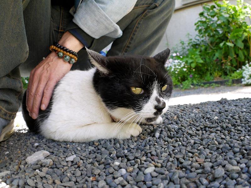尻の下の白黒猫3