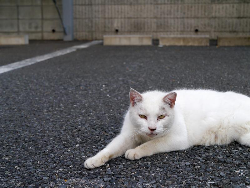 駐車場で腹ばってる白猫1