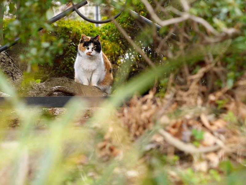 茂みの奥から睨む三毛猫1