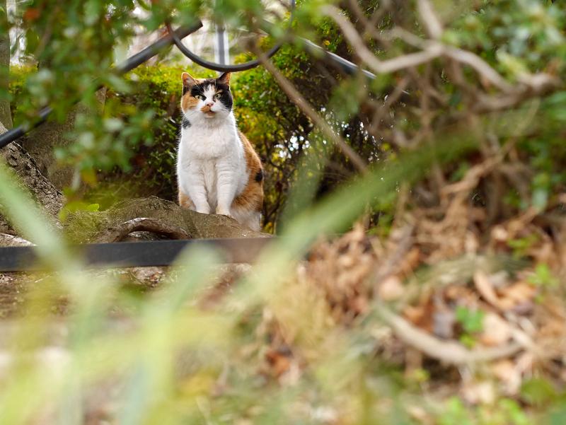 茂みの奥から睨む三毛猫2