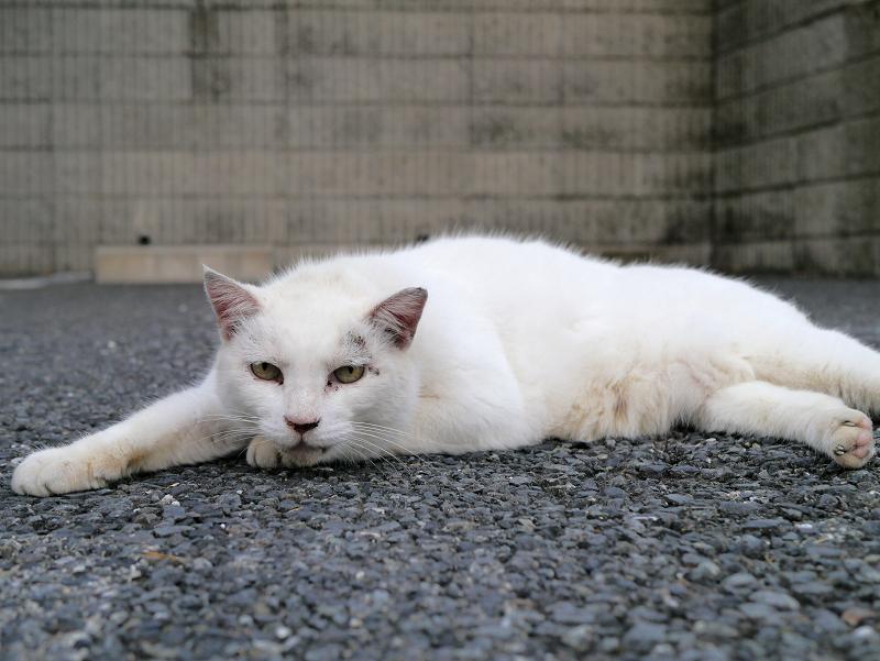 駐車場で腹ばってる白猫3