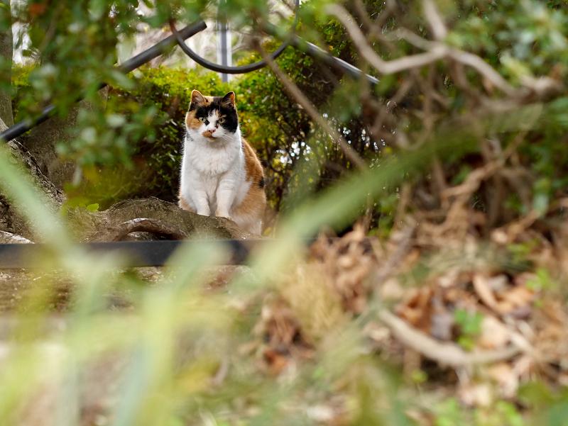 茂みの奥から睨む三毛猫3