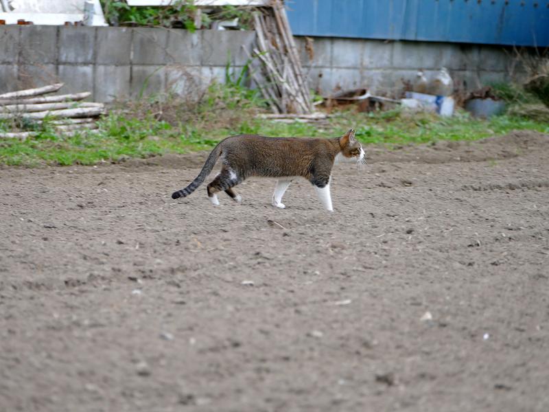 畑を歩くキジ白猫1