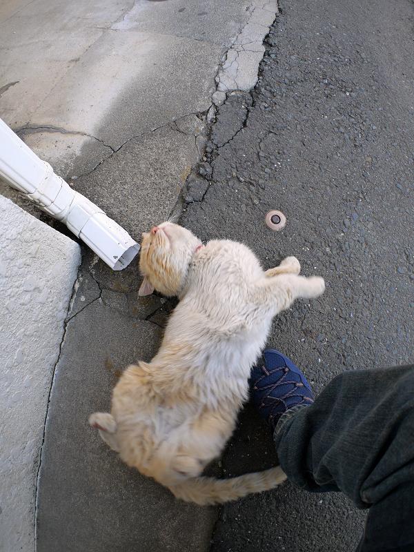 足元でクネクネする白茶猫2