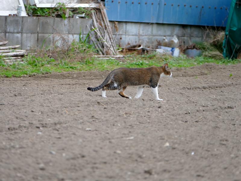 畑を歩くキジ白猫2