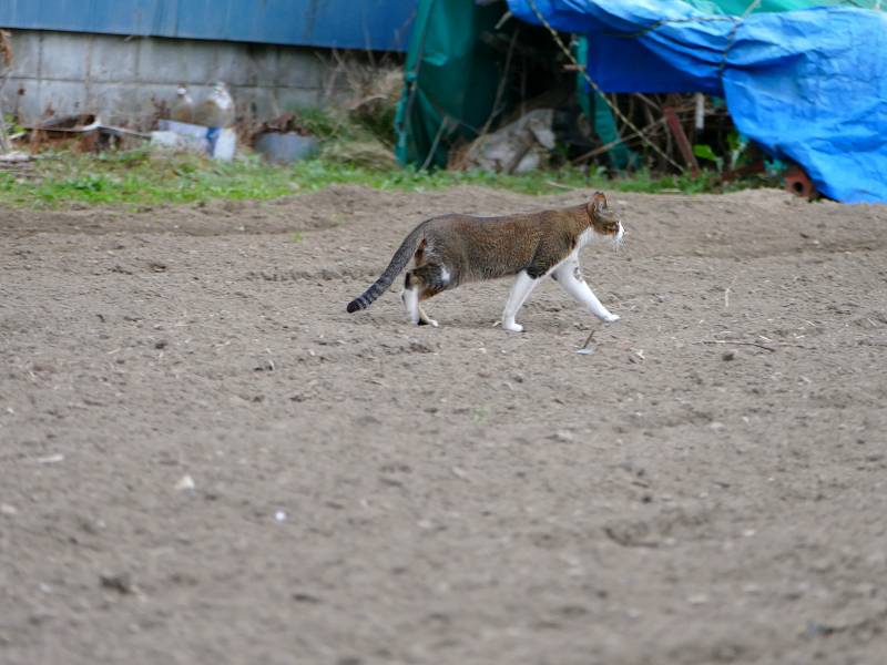 畑を歩くキジ白猫3