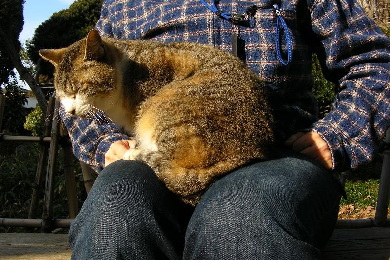 膝の上で丸まってるキジ白猫1