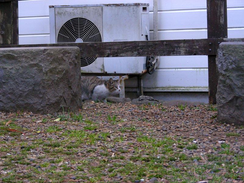 好奇心が勝ったキジ白猫1