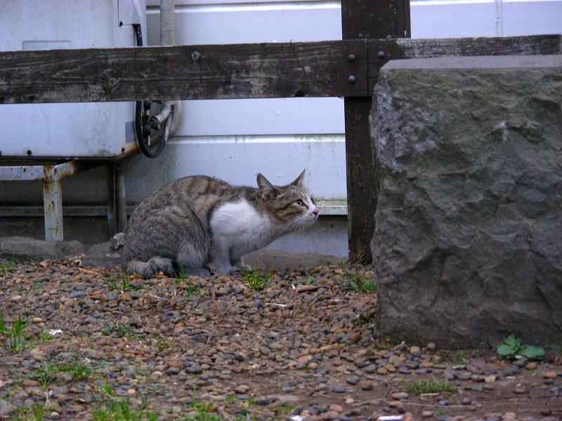 好奇心が勝ったキジ白猫2