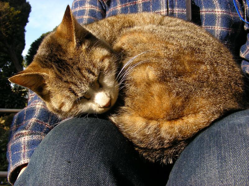 膝の上で丸まってるキジ白猫3