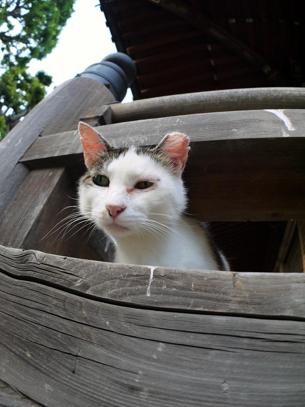 欄干から顔を出してる白キジ猫1