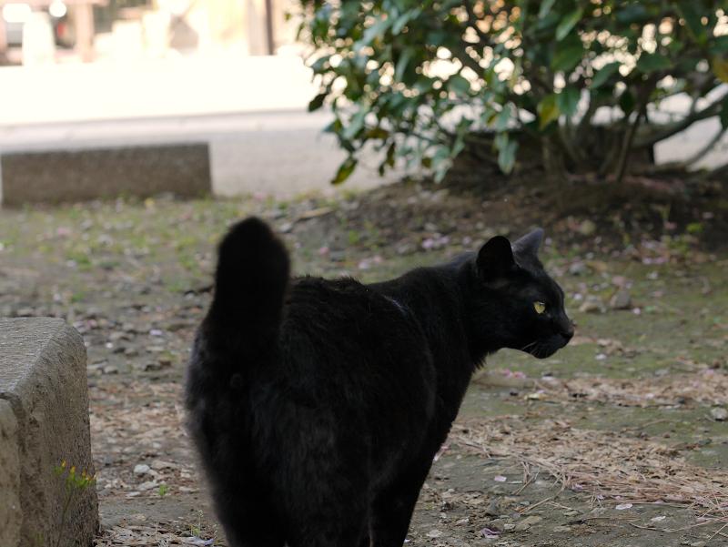 右に振り向く黒猫1
