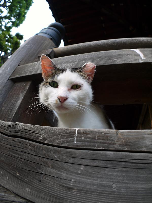 欄干から顔を出してる白キジ猫2