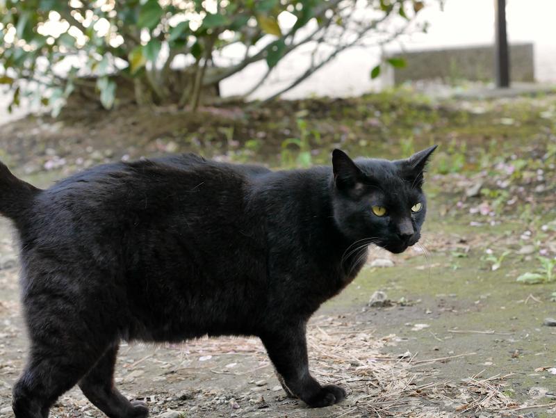 右に振り向く黒猫2