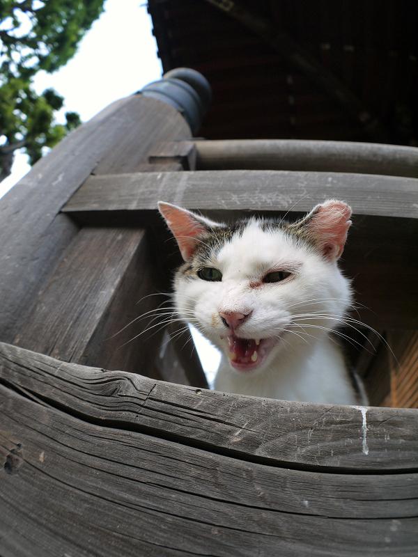 欄干から顔を出してる白キジ猫3