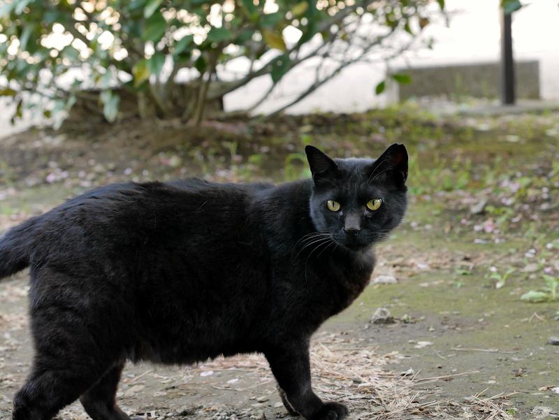右に振り向く黒猫3