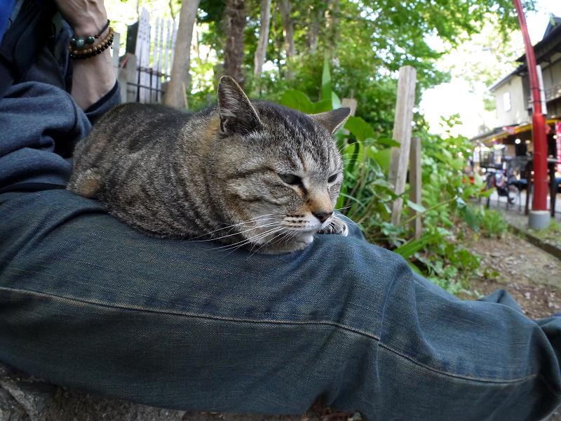 膝の上で目が覚めたキジ白猫1