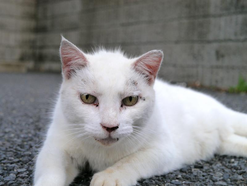 駐車場で腹ばってる白猫のアップ1