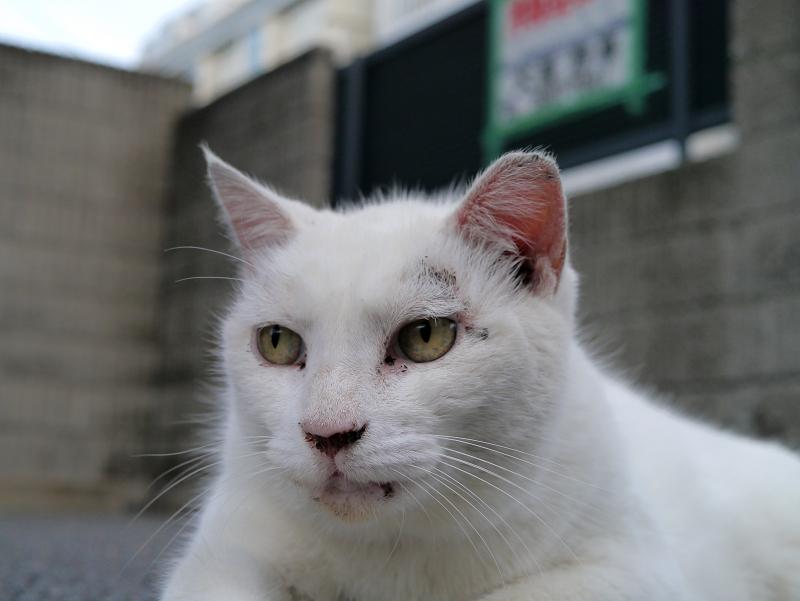 駐車場で腹ばってる白猫のアップ2