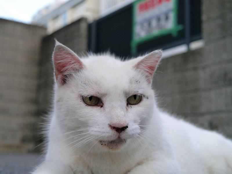 駐車場で腹ばってる白猫のアップ3