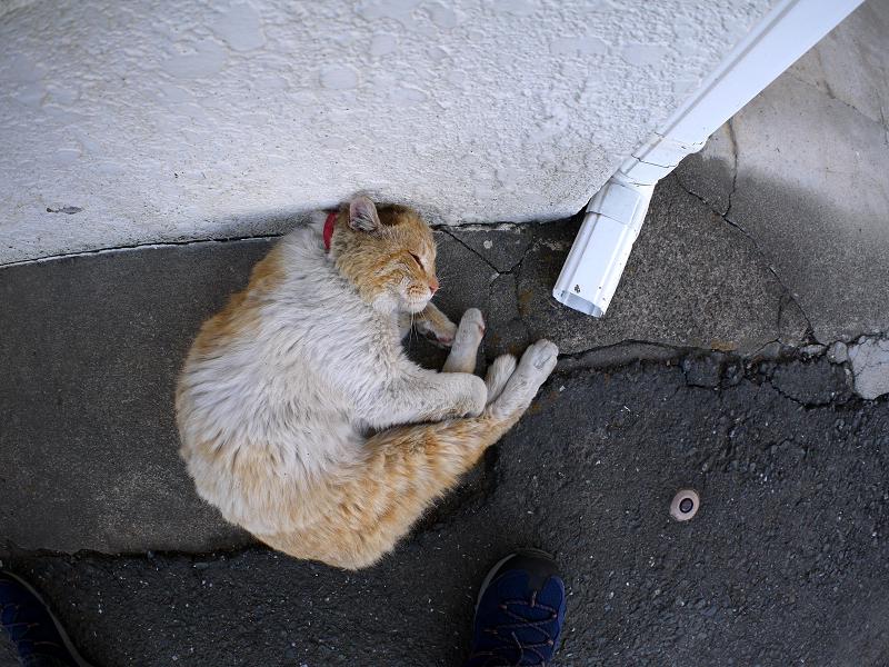 壁につけた頭を中心に回る白茶猫1