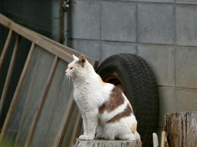 切り株と薄三毛猫1