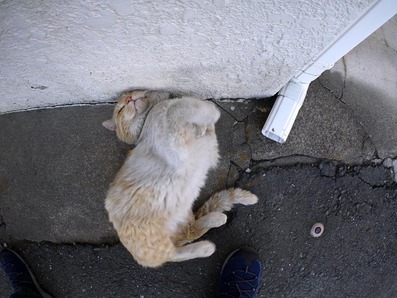 壁につけた頭を中心に回る白茶猫2