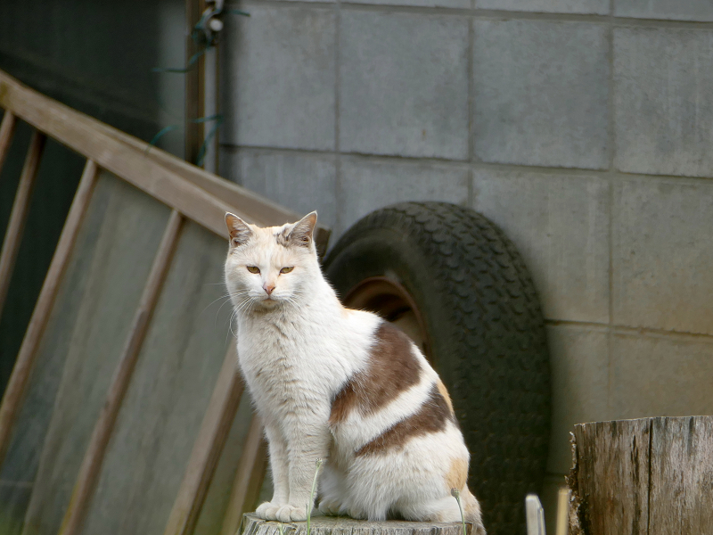 切り株と薄三毛猫2