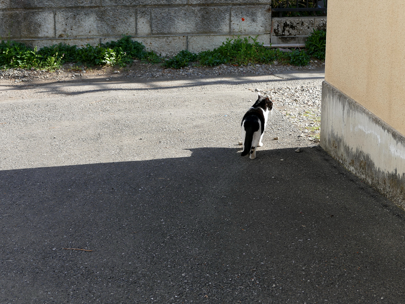 歩き去って行った黒白猫2