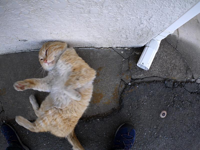 壁につけた頭を中心に回る白茶猫3