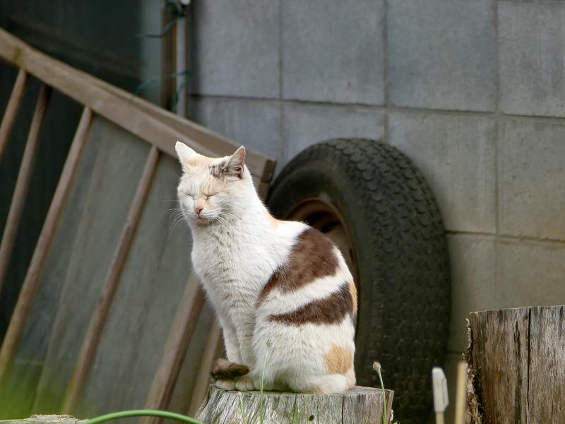 切り株と薄三毛猫3