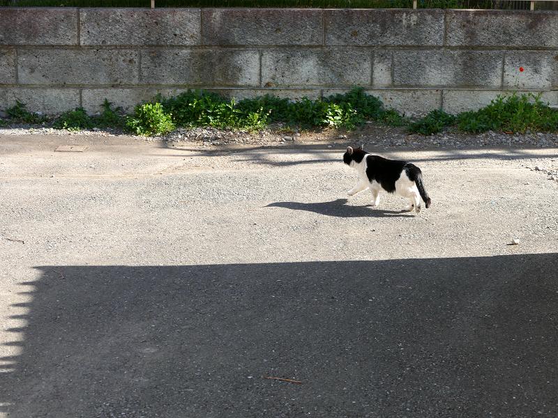 歩き去って行った黒白猫3