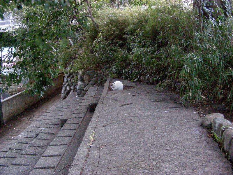 夕暮れスタンドの白キジ猫1