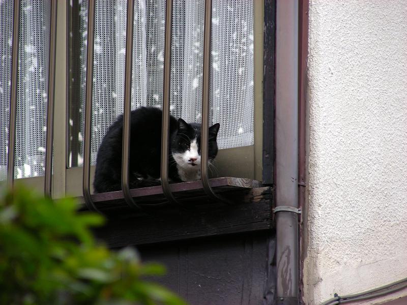 民家二階窓の黒白猫2