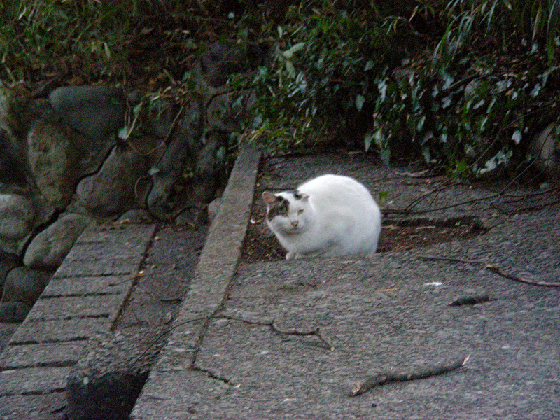 夕暮れスタンドの白キジ猫2