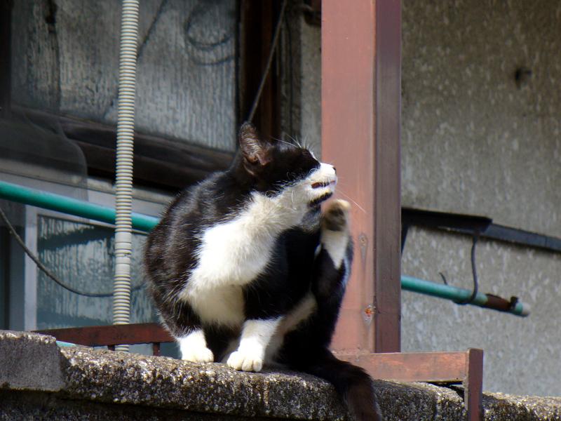 ブロック状でカキカキする黒白猫2