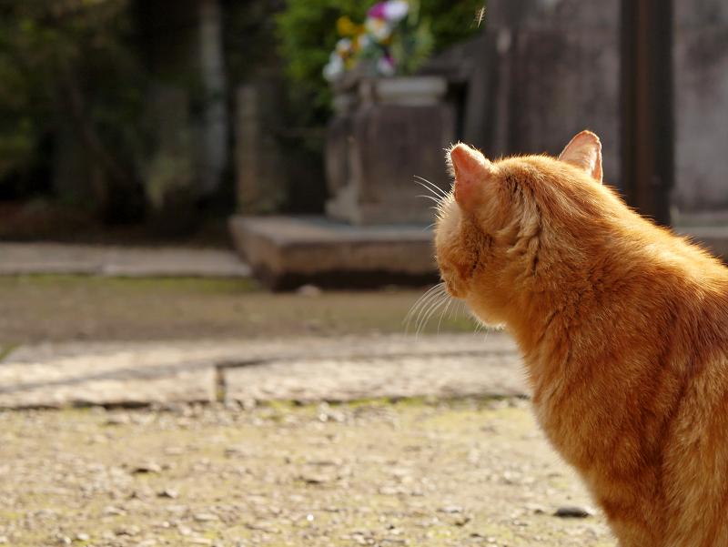 耳を後ろ向きにして振り返るアメショー風猫1