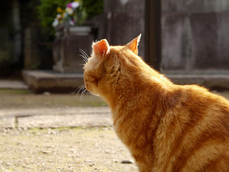 耳を後ろ向きにして振り返るアメショー風猫2