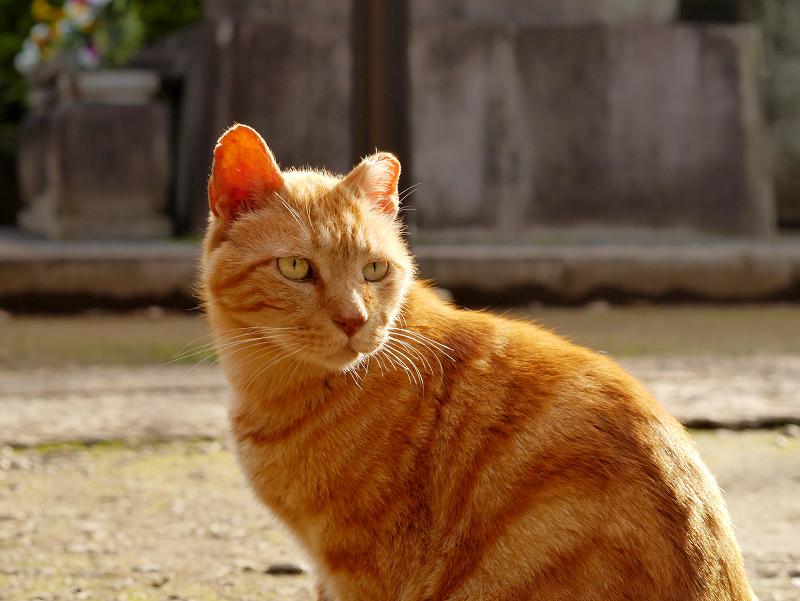 耳を後ろ向きにして振り返るアメショー風猫3
