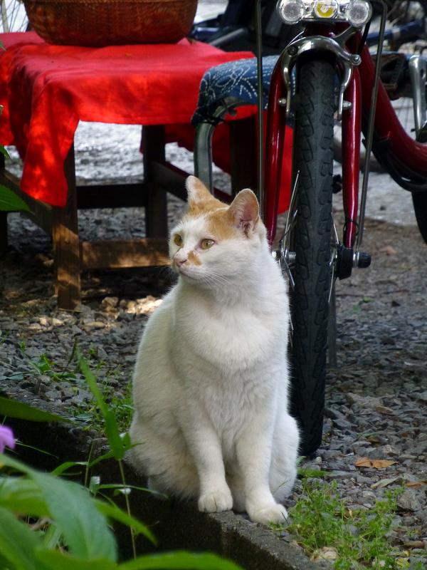参道脇側溝の白茶猫2