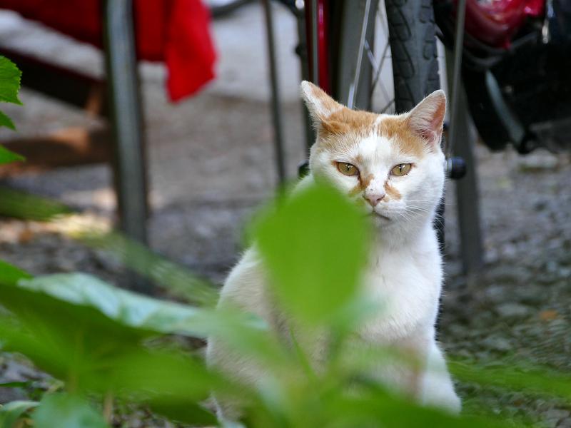 参道脇側溝の白茶猫3